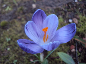 A Splash of Spring: A burst of colour in my garden as the crocus and daffodils respond to the Spring sunshine