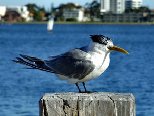 crested tern2