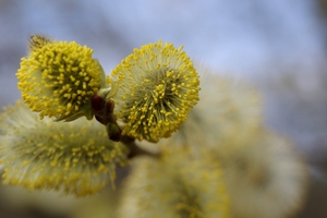 Flower of a willow tree