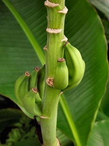 banana growth3