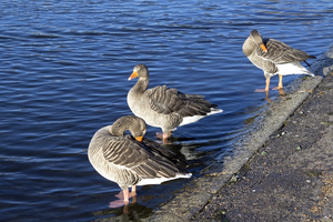 Geese: Greylag geese (Anser anser) in a park pond in London, UK.