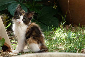 Kitten in a garden: A kitten with fur: white, black and brown.