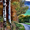 Birch at the road