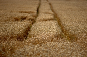 Wheat field with tracks