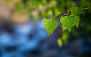 Green leaves of spring Birch: Fresh spring leaves and soft defocused background.