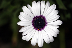 White & purple flower