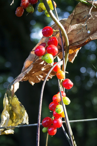 Poisonous wild berries: Poisonous berries of wild black bryony (Tamus communis) in Surrey, England, in early autumn.