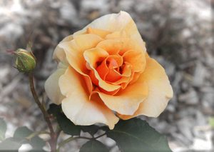 Beautiful Apricot Rose 2