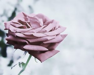Desaturated Rose