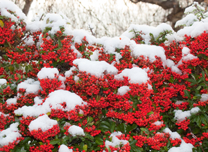 Pyracantha in the snow