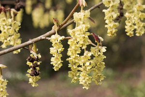Corylorsis flowers: Corylorsis (winterhazel) flowers in a garden in West Sussex, England, in spring.