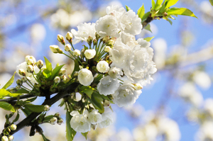 blossom: white blossoms in spring
