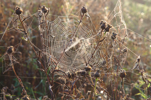 Spider web: Spider web covered in dew glinting in dawn light