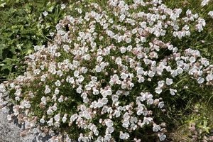 Sea campion flowers