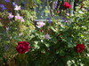 Roses and Larkspur