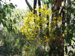 Golden Wattle: Australian Native Tree, Australia's national floral emblem is the golden wattle (Acacia pycnantha Benth.). It has been used in the design of Australian stamps and many awards in our honours system. A single wattle flower is the emblem of the Order of Aust