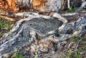 exposed tree root patterns1