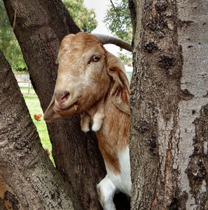 boys & goats climb trees3