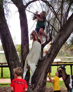 boys & goats climb trees1