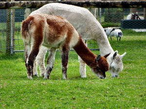 Alpacas grazing5