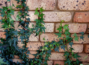 creeping up the wall1: plant creepers/vines adhering to brick or stone walls