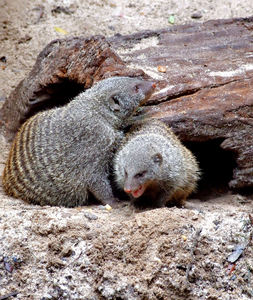 banded mongoose colony5