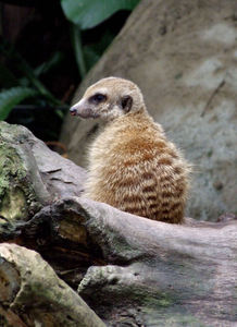 ever vigilant1: aware meerkat on the  lookout