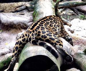 jaguar stretch1